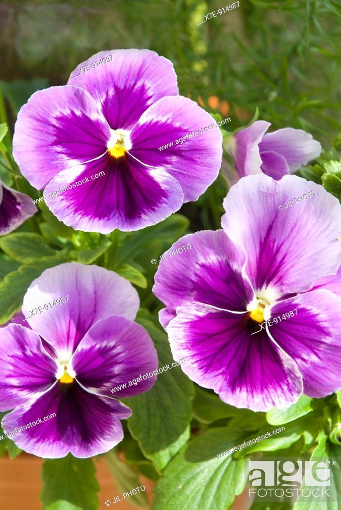 Stock Photo: Three pansy flowers, Viola X Wittrockiana.