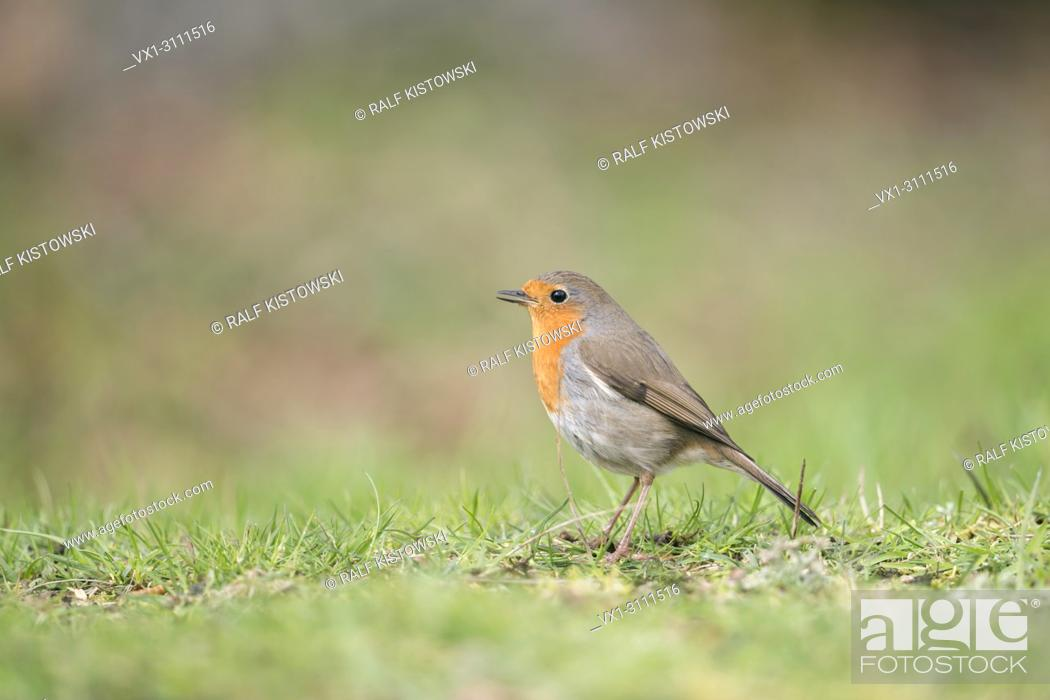 Stock Photo: Robin Redbreast / Rotkehlchen ( Erithacus rubecula ) sitting on the ground, singing its song, side view, typical garden bird in Europe.