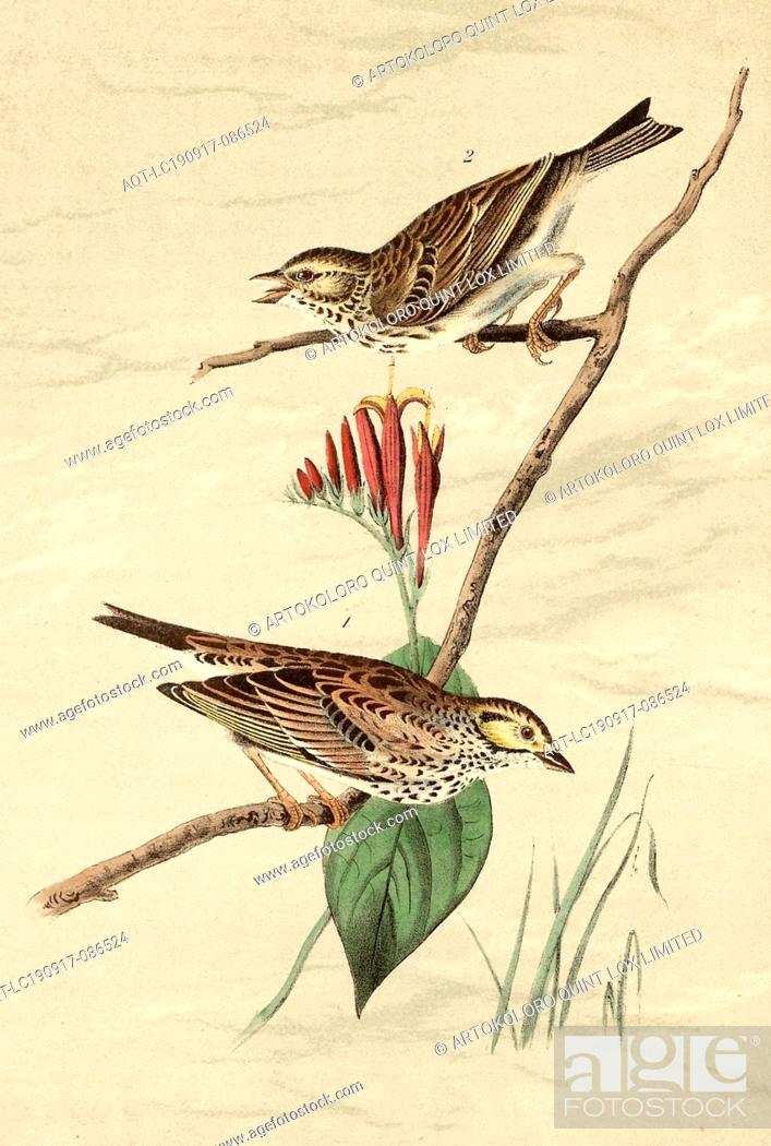 Stock Photo: Savannah Bunting - Indian Pink-root, Spigelea Marilandica, Ammer (Emberiza Savanna), Signed: J.J. Audubon, J.T. Bowen, lithograph, Pl. 160 (vol.