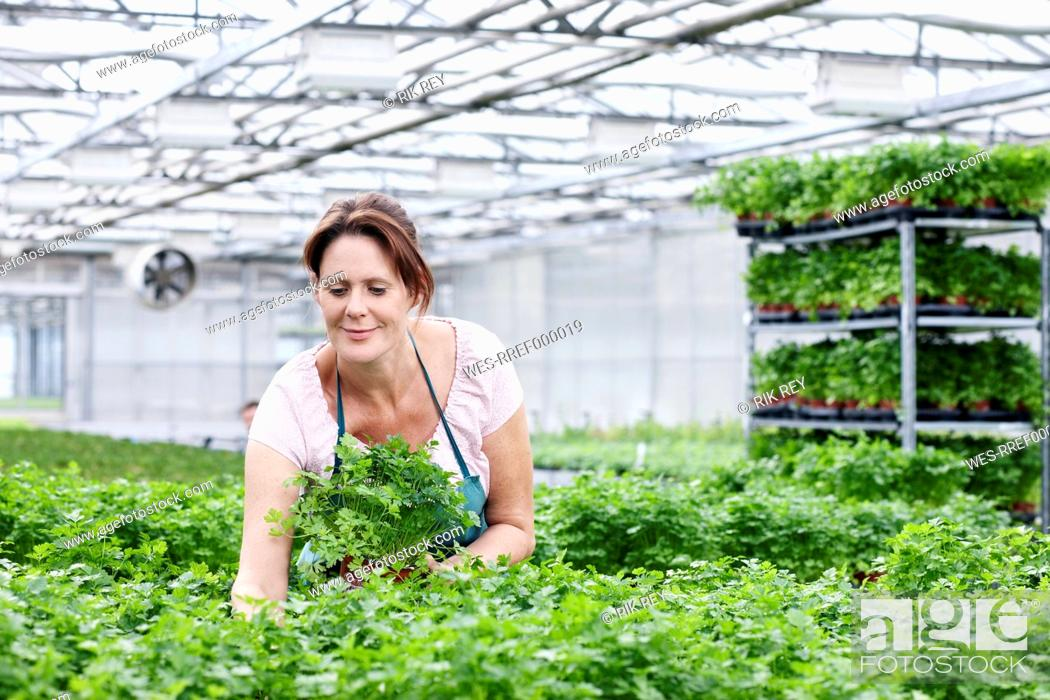 Stock Photo: Germany, Bavaria, Munich, Mature woman in greenhouse between parsley plants.