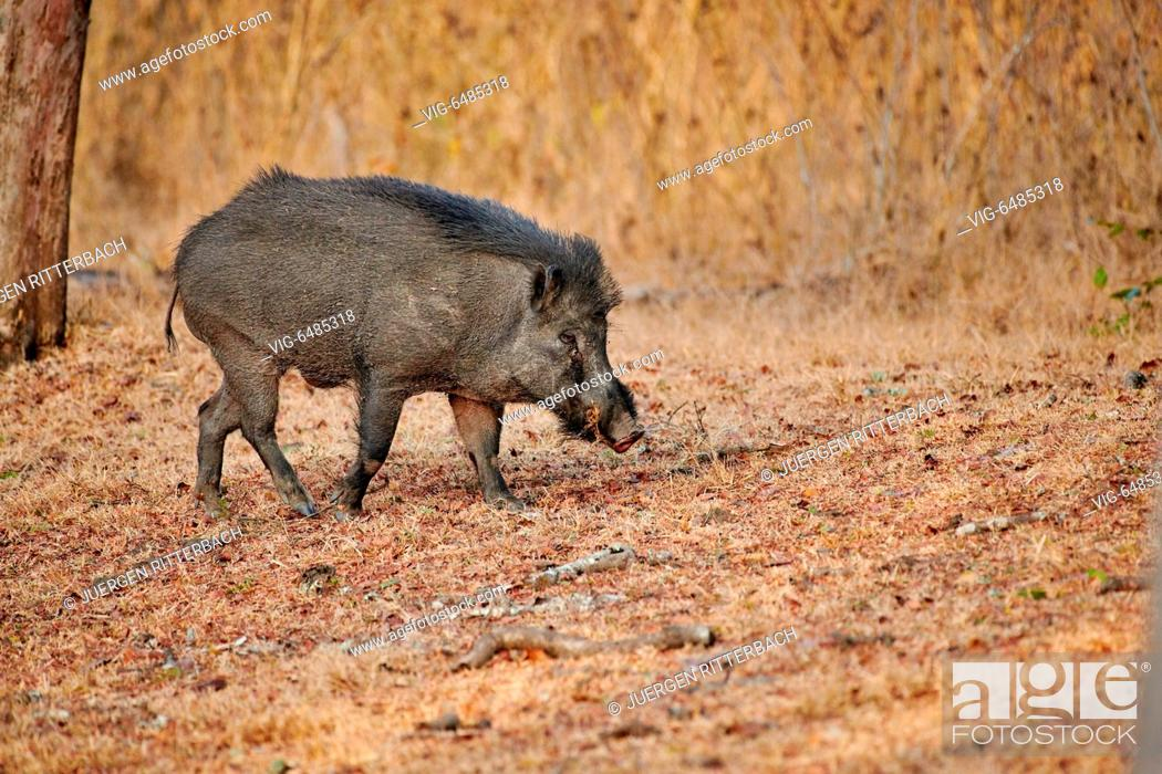 Imagen: Indian boar, also known as the Andamanese pig or Moupin pig, Sus scrofa cristatus, Kabini, Nagarhole Tiger Reserve, Hassan, Karnataka, India - Kabini, Karnataka.