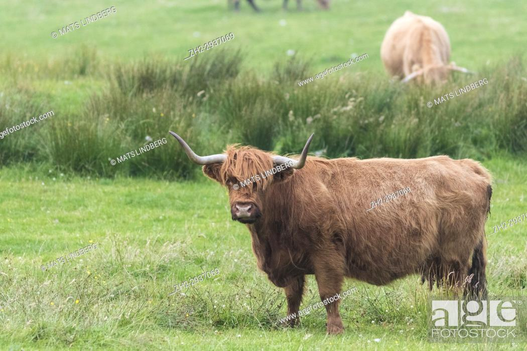 Stock Photo: Highland cattle standing looking in to the camera, Islay, Scotland.
