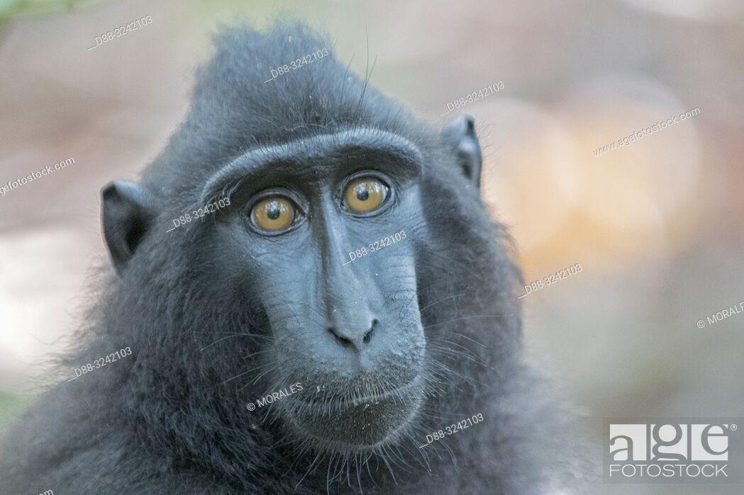 Photo de stock: Asia, Indonesia, Celebes, Sulawesi, Tangkoko National Park, . Celebes crested macaque or crested black macaque, Sulawesi crested macaque.