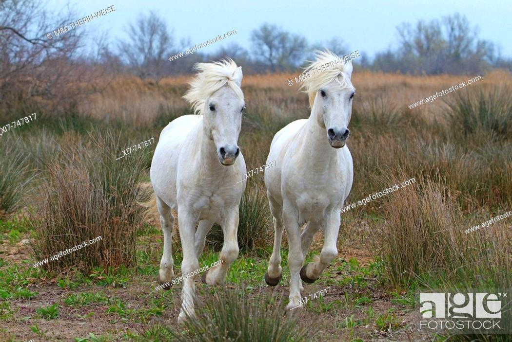Stock Photo: Camargue Horses – Stallions; Camargue ; Bouches du Rhône ; France ; Chevaux de Camargue – Etalons ; Camargue ; Bouches du Rhône ; France ; Camargue Pferd –.