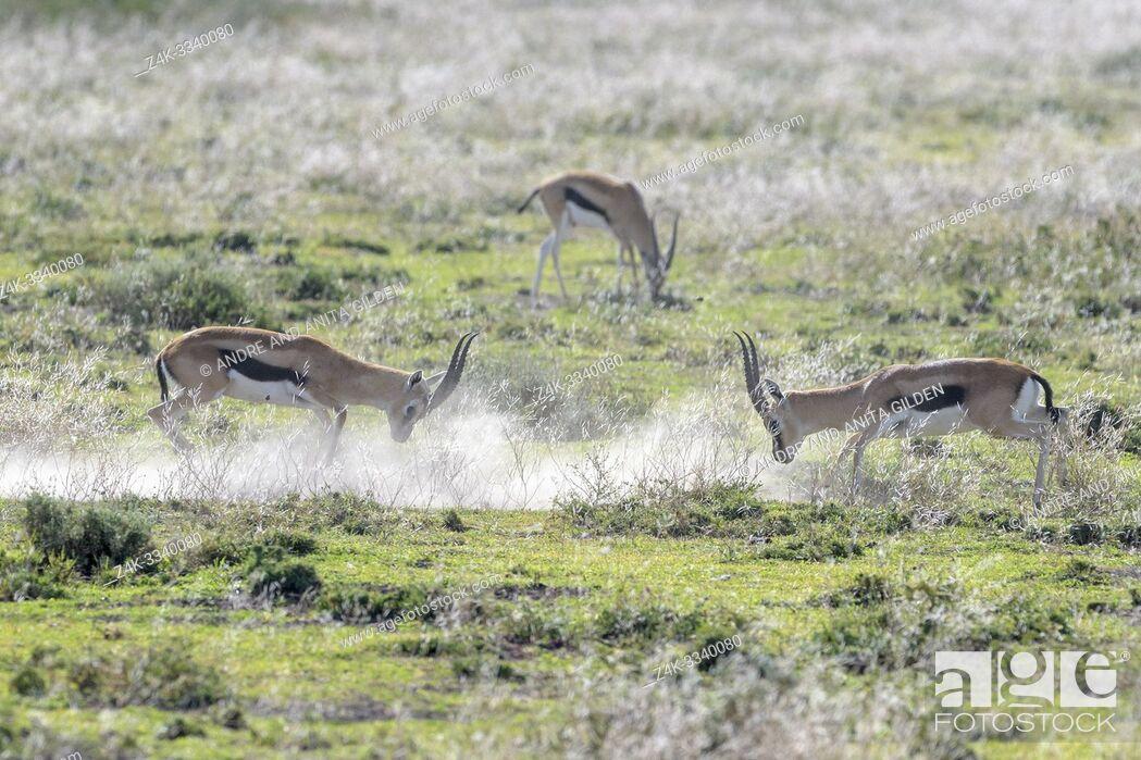 Imagen: Two Thomson's Gazelle (Eudorcas thomsonii) rams fighting for dominance on savanna, Ngorongoro crater national park, Tanzania.