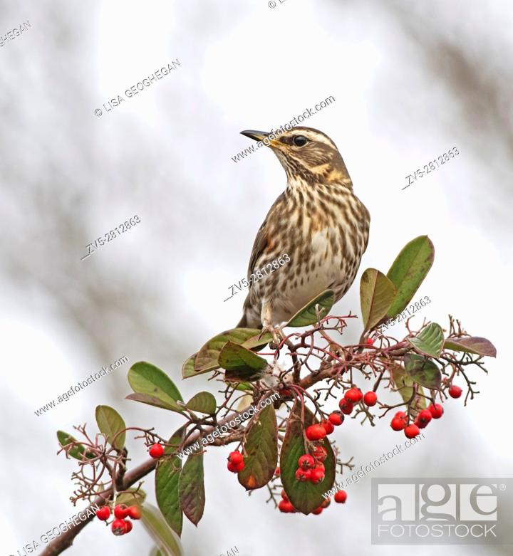 Imagen: Redwing-Turdus iliacus feeds on Cotoneaster Berries. Winter.