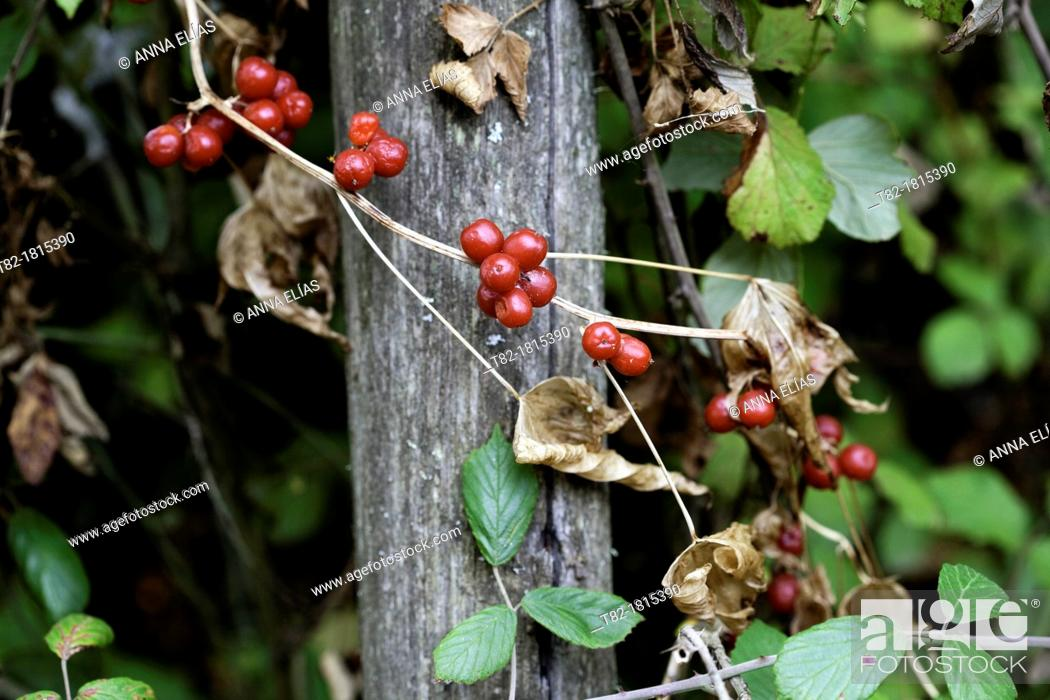 Stock Photo: bush with ripe red fruit of Ribes rubrum or Red Currant Wild.