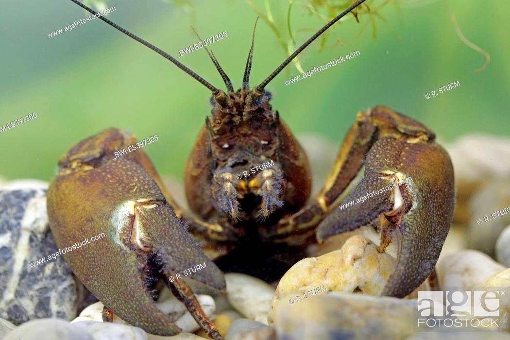 Stock Photo: signal crayfish (Pacifastacus leniusculus), male in resting position, portrait, Germany, Bavaria.