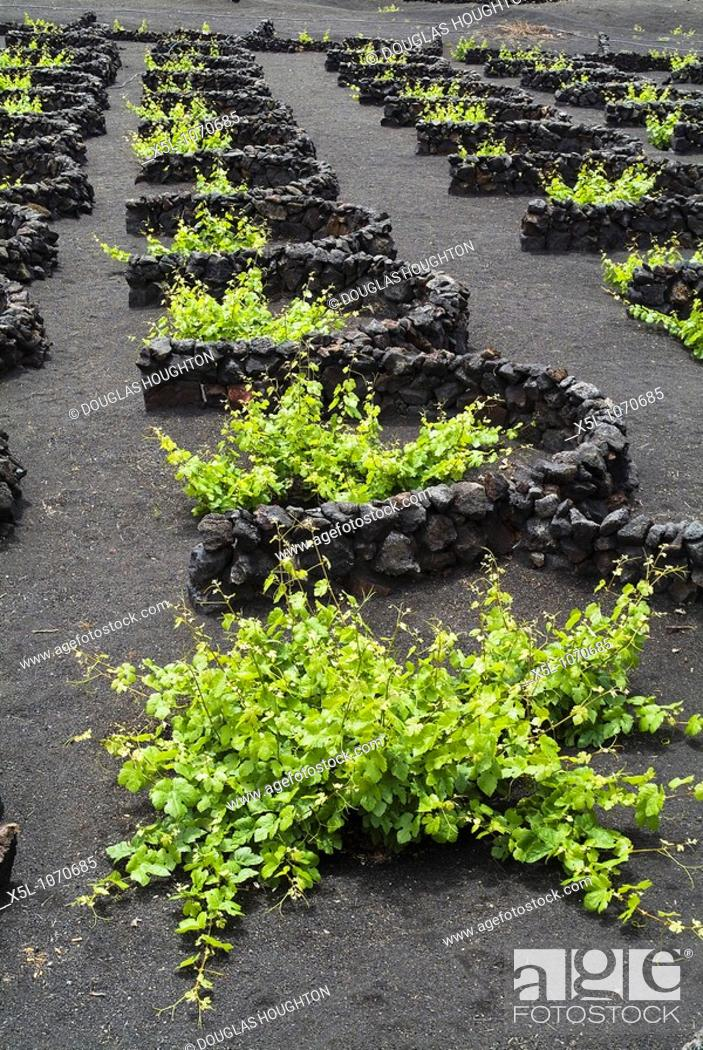Stock Photo: grape vines LA GERIA LANZAROTE Lava dry stone walls protecting vines on volcanic ashes field vineyards.