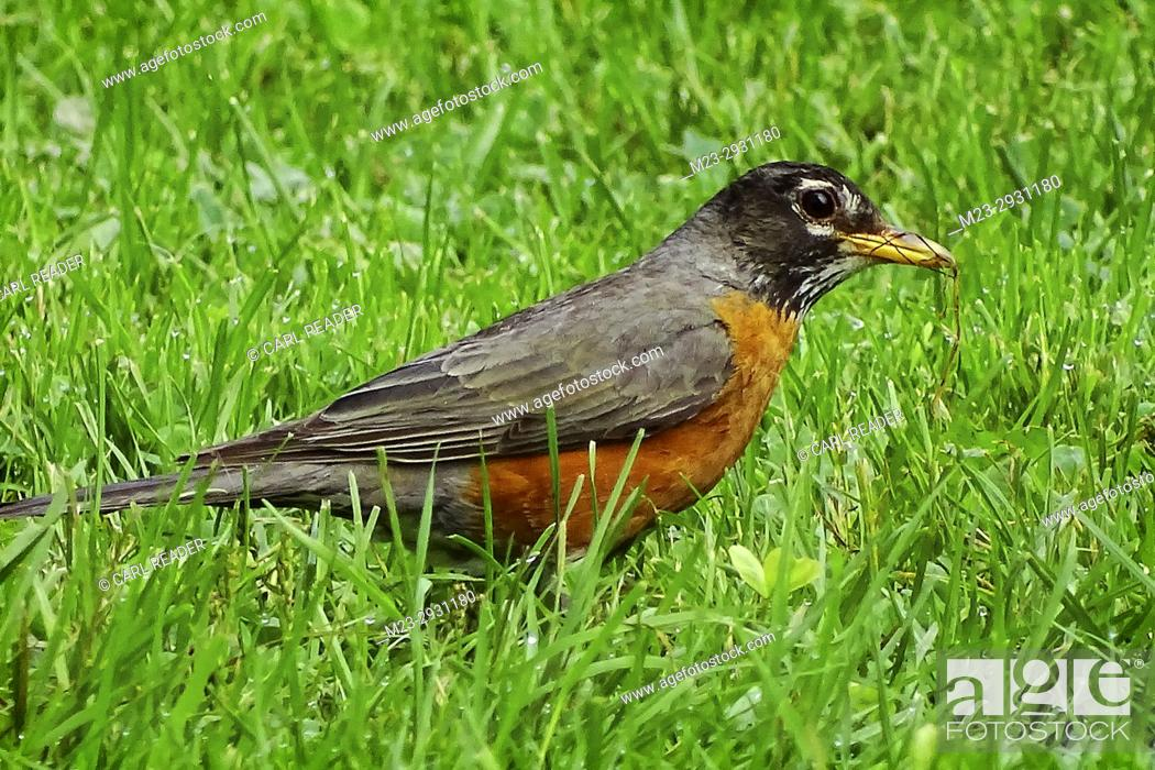 Stock Photo: An American robin, Turdus migratorius, picks up a few strands of dry grass, Pennsylvania, USA.