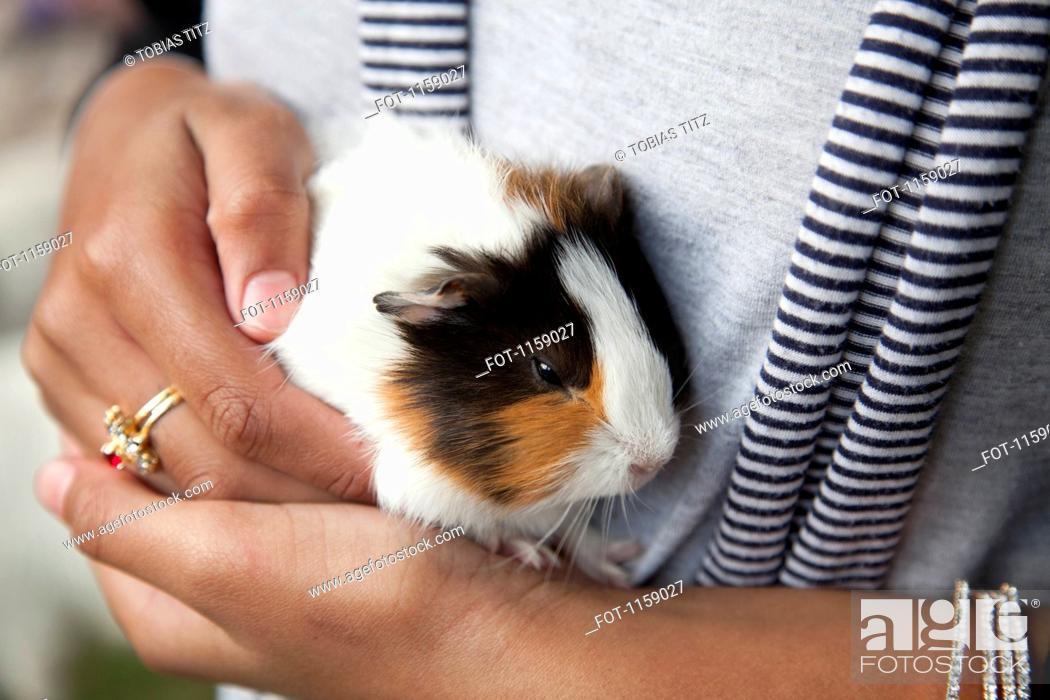 Stock Photo: Farm pet, guinea pig Cavia porcellus.