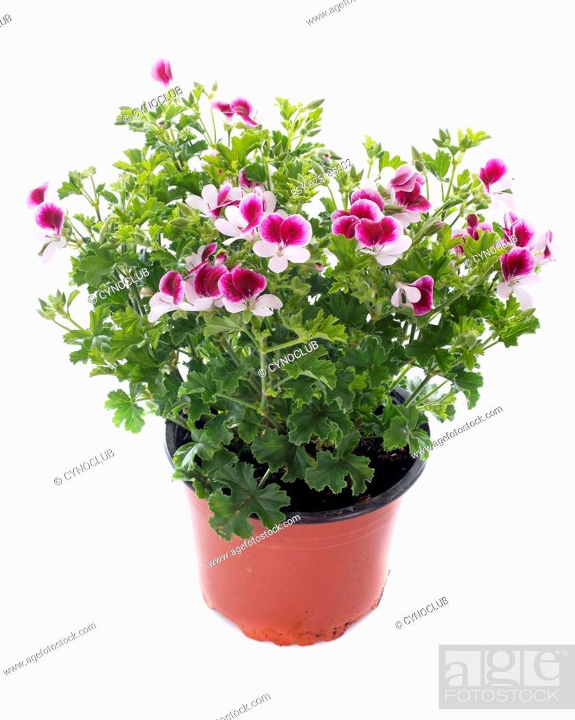 Stock Photo: pelargonium crispum.