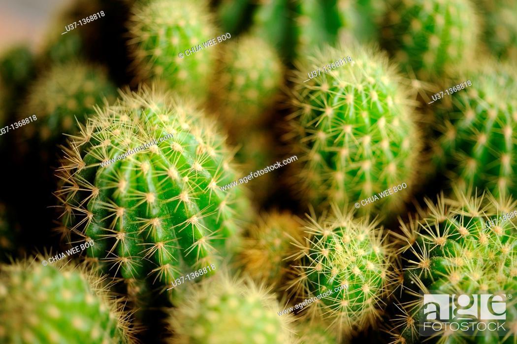 Stock Photo: Cactus.