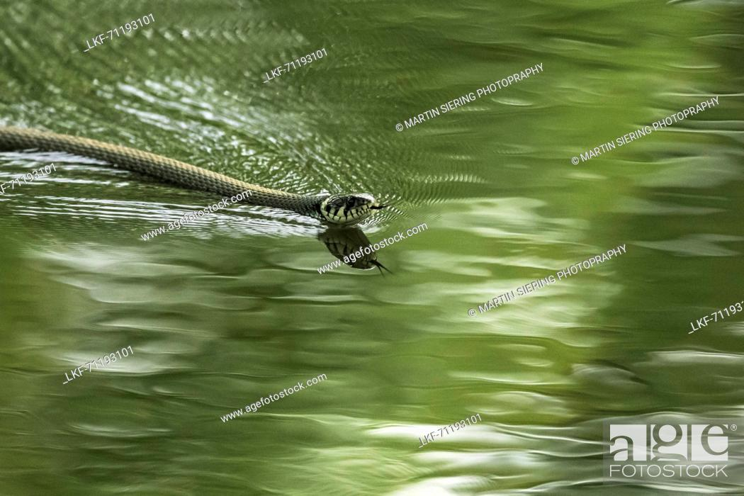 Stock Photo: Spreewald Biosphere Reserve, Brandenburg, Germany, Kayaking, Recreation Area, Wilderness, River Landscape, Reptiles, Snake gliding through the water.