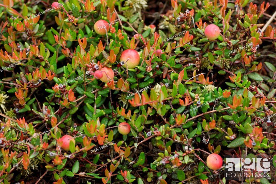 Imagen: small cranberry Vaccinium oxycoccos - Zandenbos, Nunspeet, Veluwe, Gelderland, Guelders, The Netherlands, Holland, Europe.