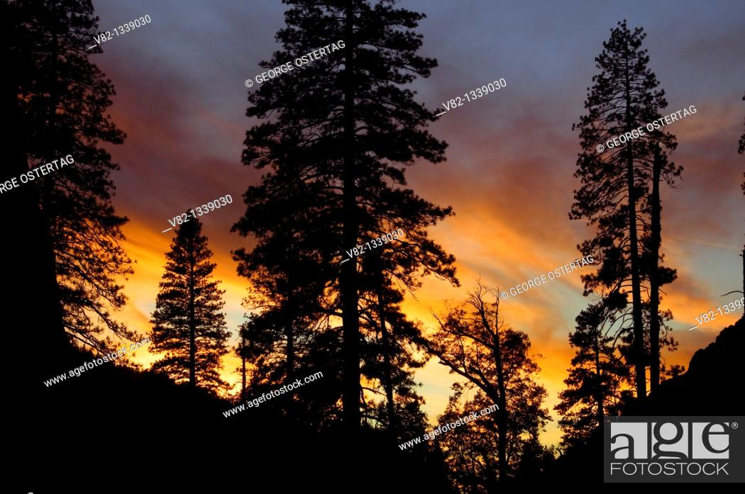 Stock Photo: Forest sunset in Yosemite Valley, Yosemite National Park, CA.