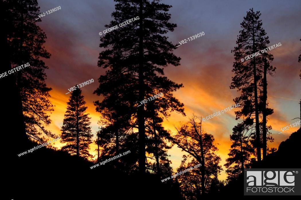 Stock Photo: Forest sunset in Yosemite Valley, Yosemite National Park, CA.