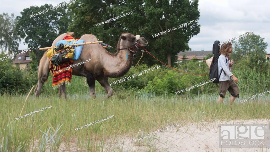 Stock Photo: 01 July 2020, Mecklenburg-Western Pomerania, Ueckermünde: Sebastien Arz walks through Ueckermünde with a camel. A man, a woman.