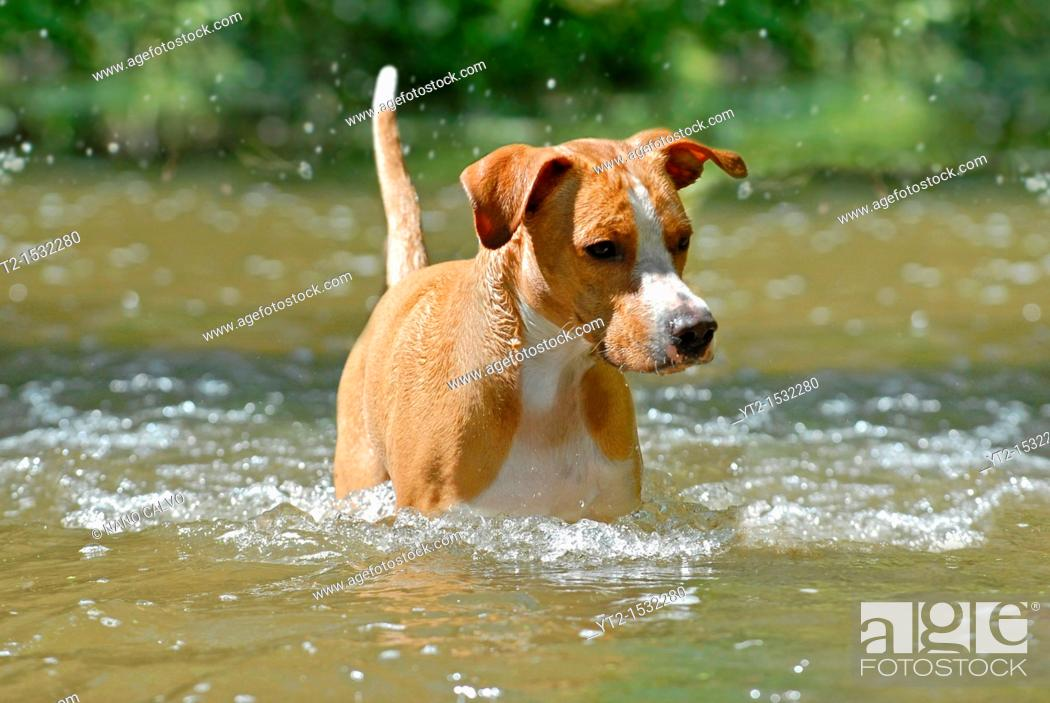 Stock Photo: Young dog playing and having fun at Cega River, Segovia, Spain.