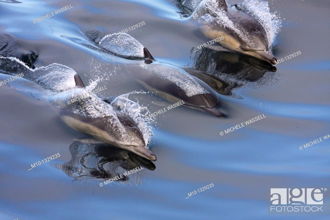 Stock Photo: Common Dolphins surfing in the wake in smooth, glassy water.