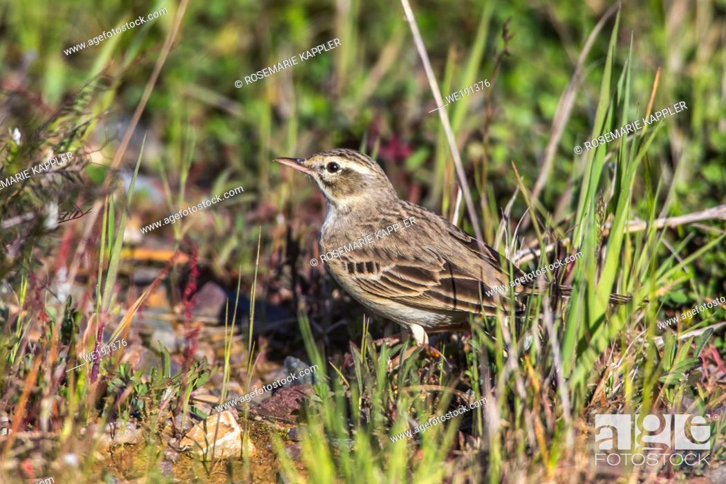 Stock Photo: A Tawny Pipit on a brownfield is searching for fodder.
