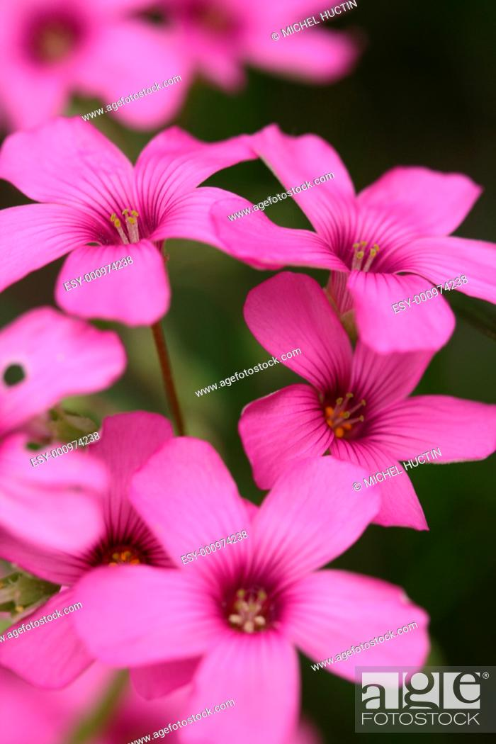 Oxalis Articulata Est Une Plante Vivace Basse Souvent Rampante Fam