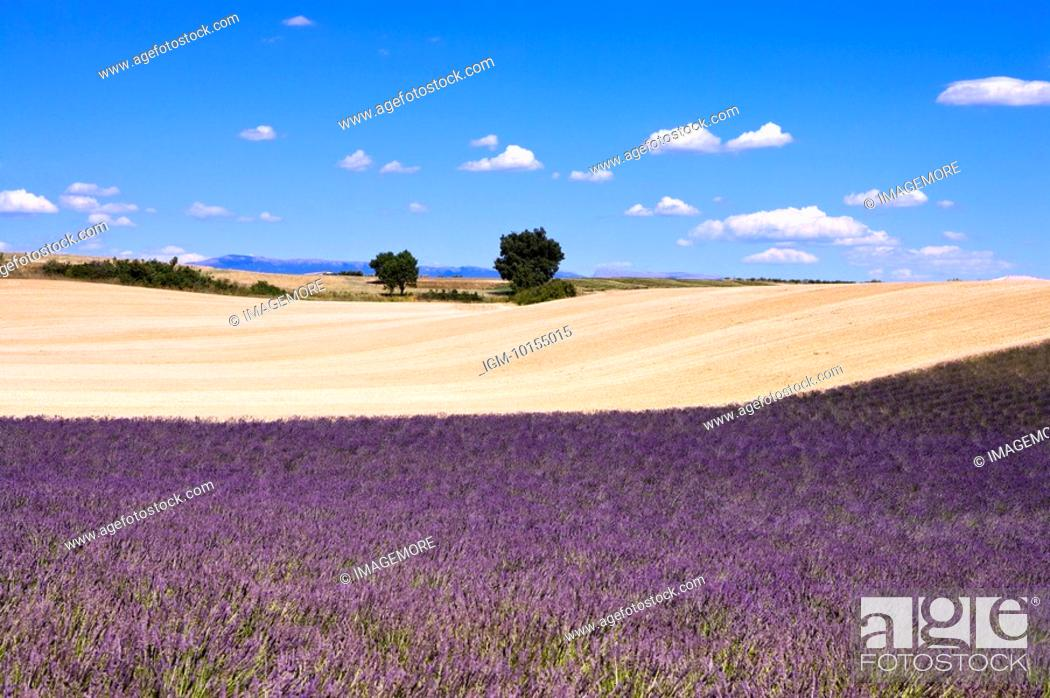 Stock Photo: Lavender Field, France, Plateau De Valensole, Provence-Alpes-Cote d'Azur.