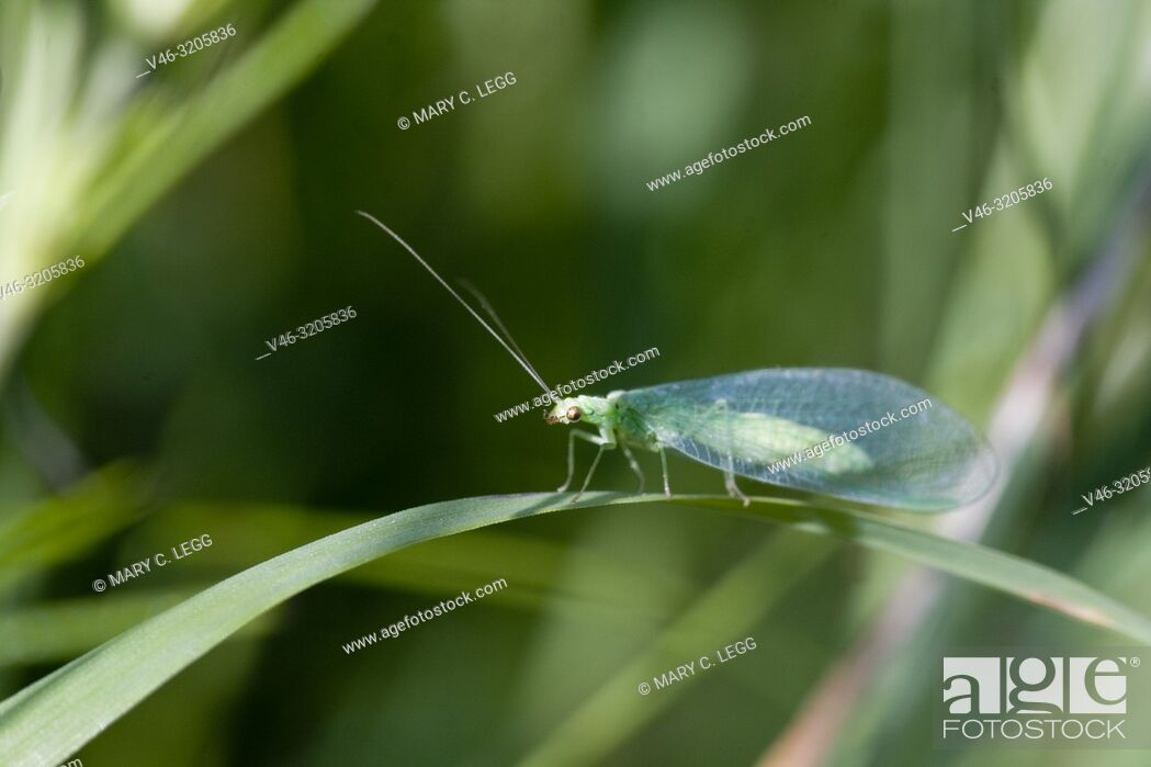 Stock Photo: Lacewing, Chrysopidae sp, a soft-bodied small insect. Green with red eyes and delicate netted wings. Adults feed on pollen.