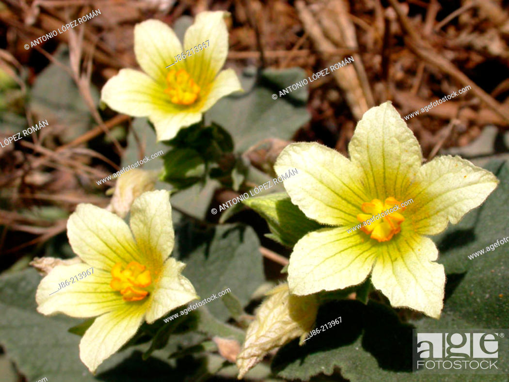 Stock Photo: Squirting Cucumber (Ecbalium elaterium) flowers.