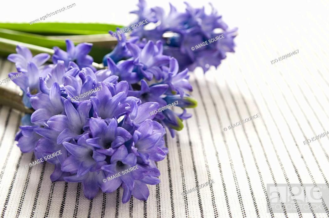 Stock Photo: Hyacinth flowers.