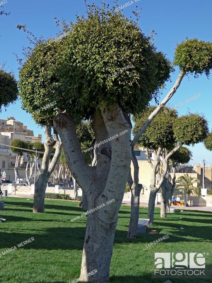 Stock Photo: Shape cutted weeping fig trees, Mgarr, Island Gozo, Malta Archipel.
