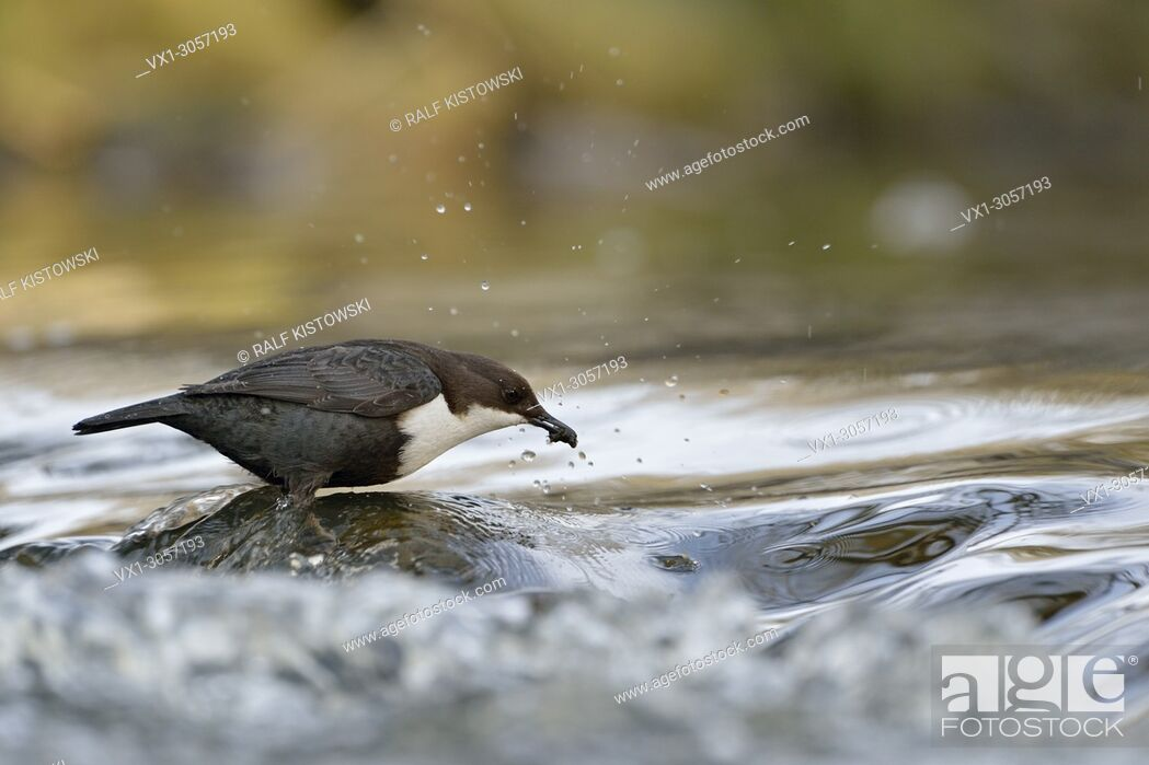 Imagen: Successful hunting of White-throated Dipper / Dipper (Cinclus cinclus) stands on a rock in fast flowing water, wildlife, Europe.