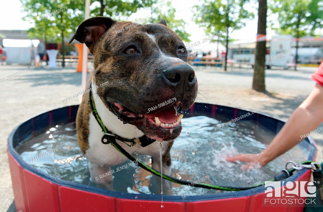 Stock Photo: An American Staffordshire Terrier cooling off in a pool at the animal shelter in Berlin, Germany 5 July 2015. Hundreds of people are expected to attend the day.