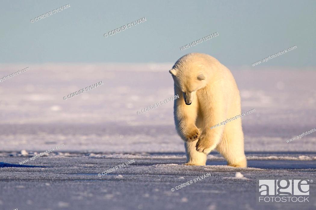 Stock Photo: United States, Alaska, Arctic National Wildlife Refuge, Kaktovik, Polar Bear( Ursus maritimus ), 2 and 10 months years old cub, jumping, pushing on the ice.