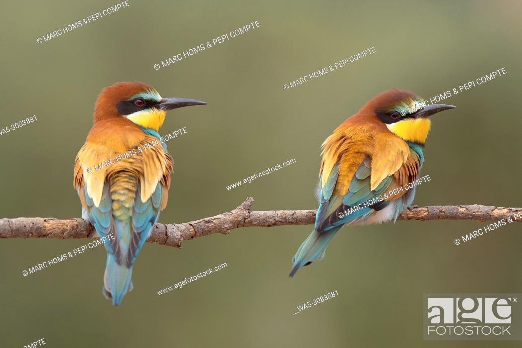 Imagen: European Bee Eaters pair posed on a trunk in Garrotxa, catalonia, Spain.
