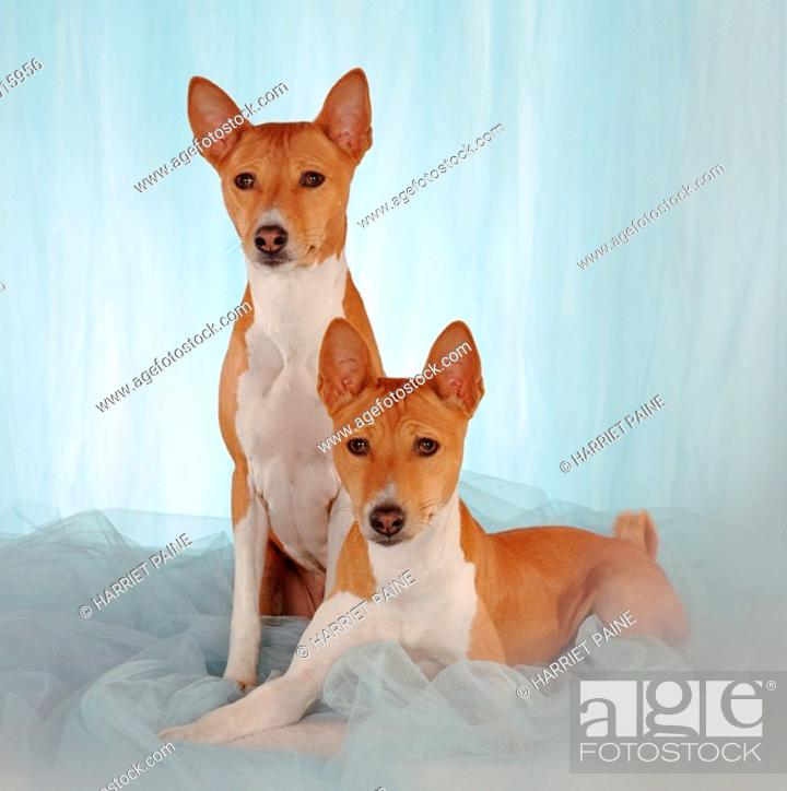 Stock Photo: Two Basenji, red coated, full length, on blue tulle fabric.