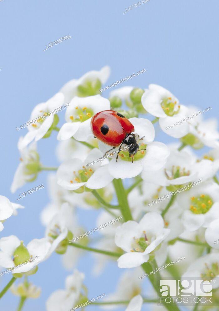 Stock Photo: ladybird, Coccinellidae, on sweet alison flowers, Lobularia maritima, Switzerland.