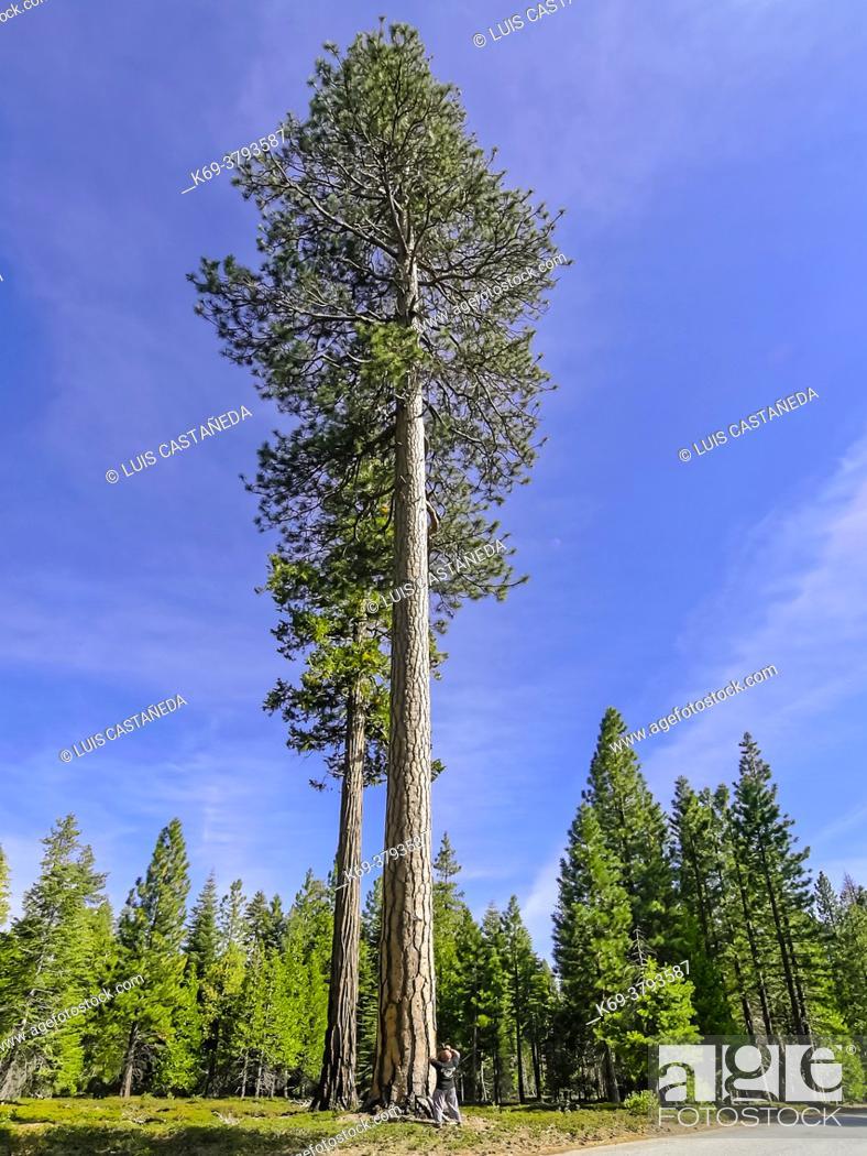 Stock Photo: Sequoia. Sequoia National Park. California. USA.