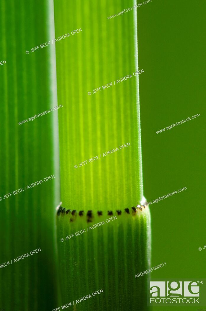 Imagen: Detail of Horsetail (Equisetum hyemale) against a soft green background.
