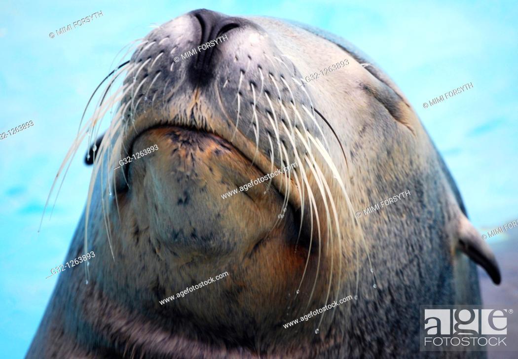 Stock Photo: Sea Lion (Otaria flavescens).