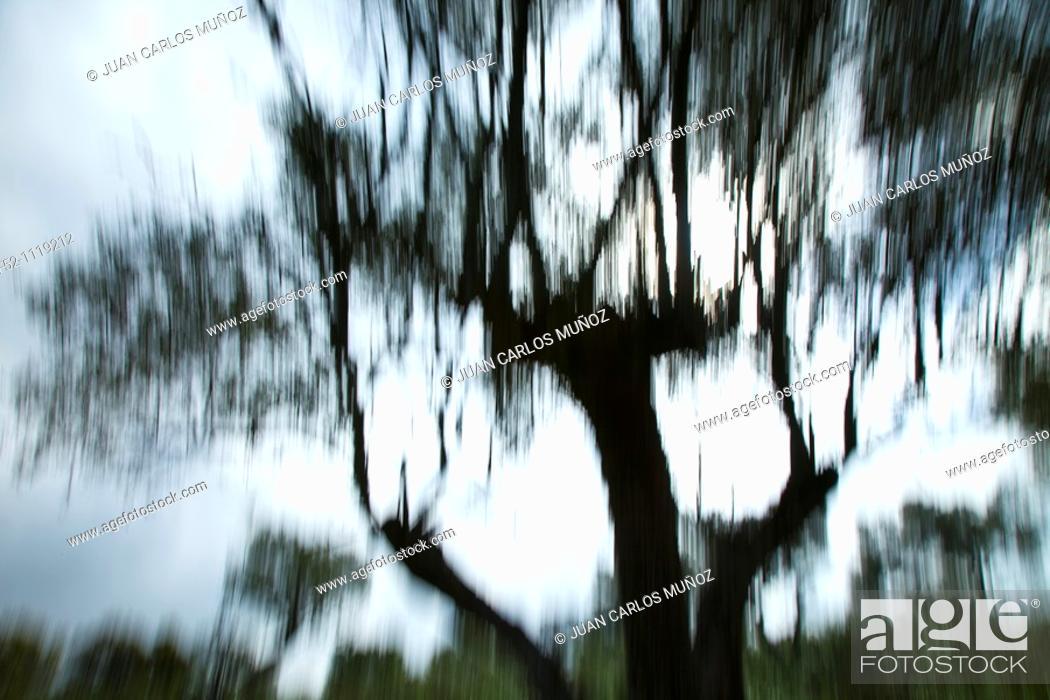 Stock Photo: Olive grove, Andujar Natural Park, Jaen, Andalusia, Spain.