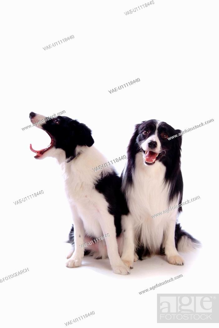 Stock Photo: faithful, domestic animal, companion, canine, close up, border collie.
