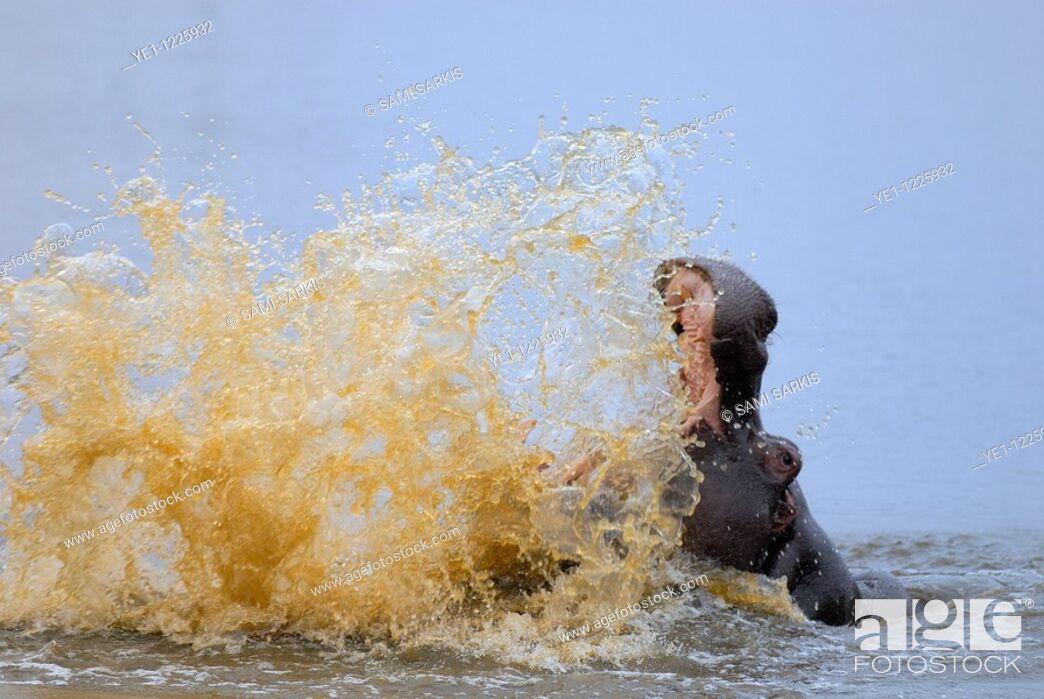 Stock Photo: Hippo splashing water (hippopotamus amphibius), Kruger National Park, South Africa.