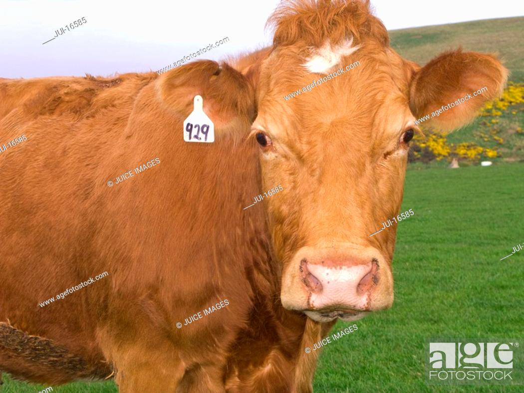 Stock Photo: Close up of tagged cow standing in field.