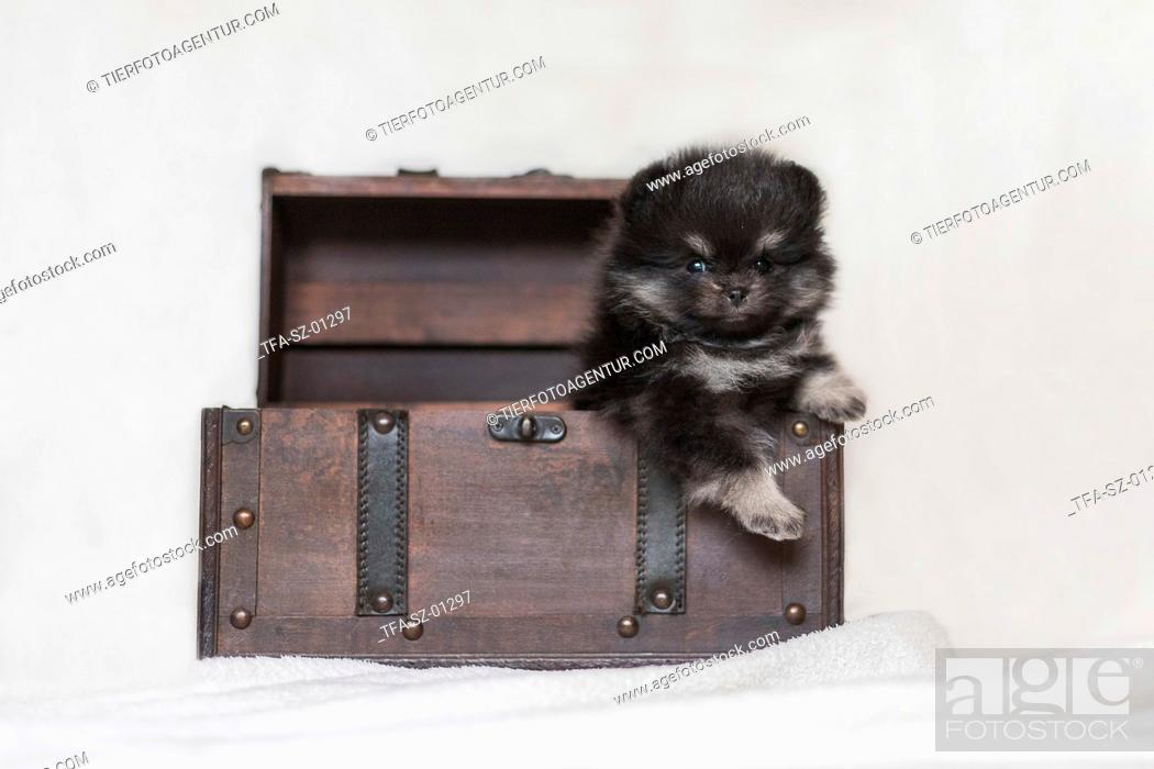 Stock Photo: Pomeranian Puppy in front of white background.
