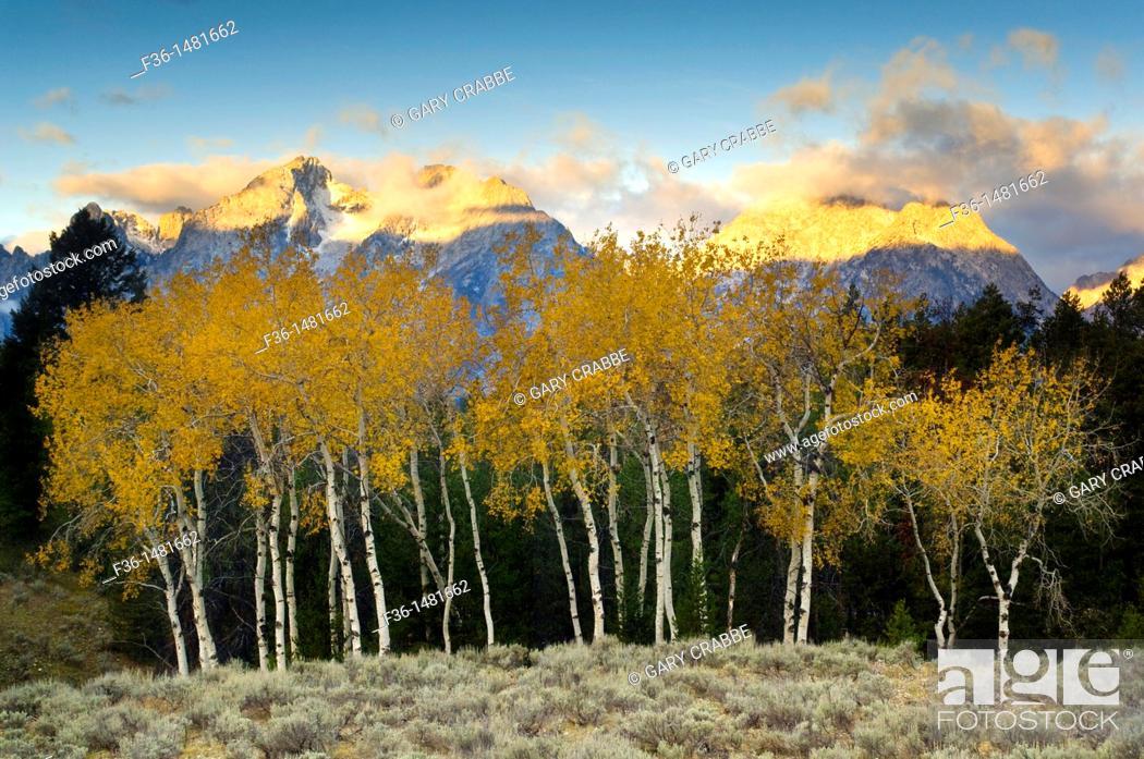 Stock Photo: Aspen trees in fall below the Teton Range mountains at sunrise, Grand Teton National Park, Wyoming.