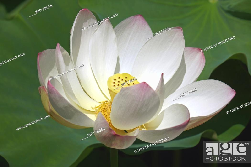 Stock Photo: Sacred lotus (Nelumbo nucifera). Known also as Indian Lotus, Bean of India and Lotus.