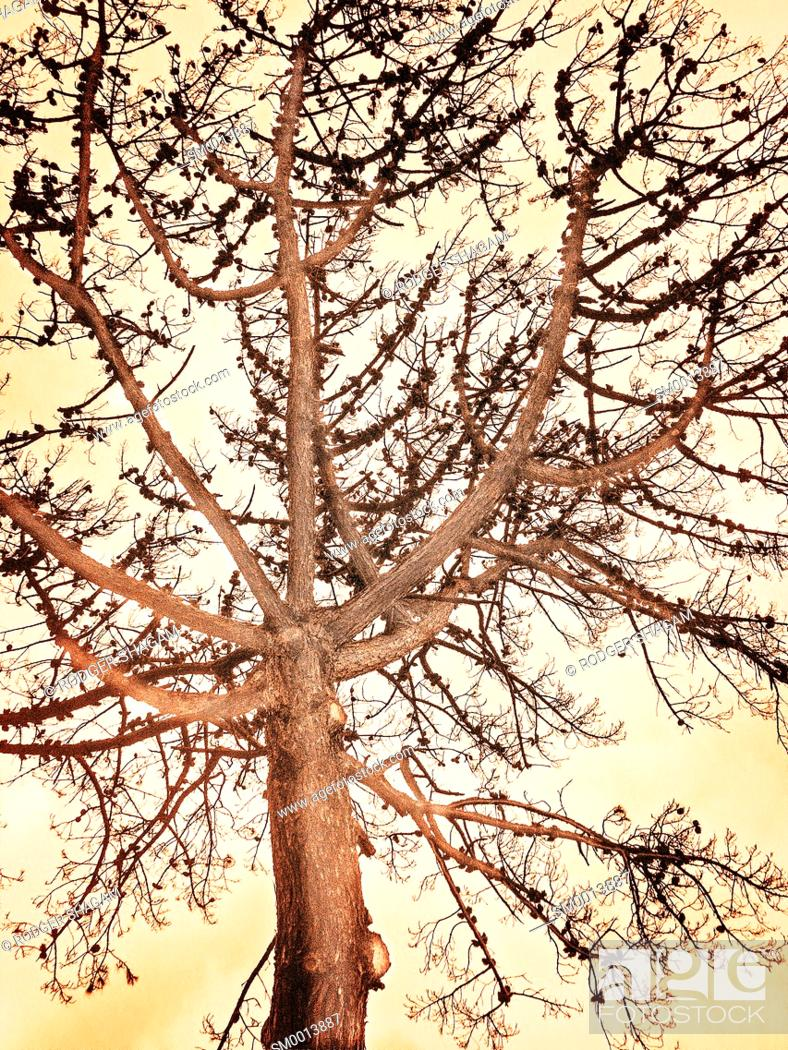 Stock Photo: A dying pine tree. Cape Town, South Africa. Manipulated.