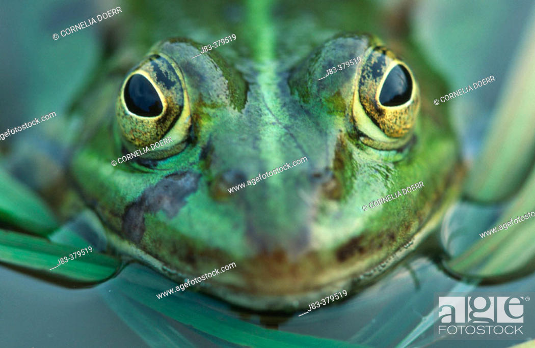 Stock Photo: Pool Frog (Rana lessonae). North Rhine Westphalia. Germany.