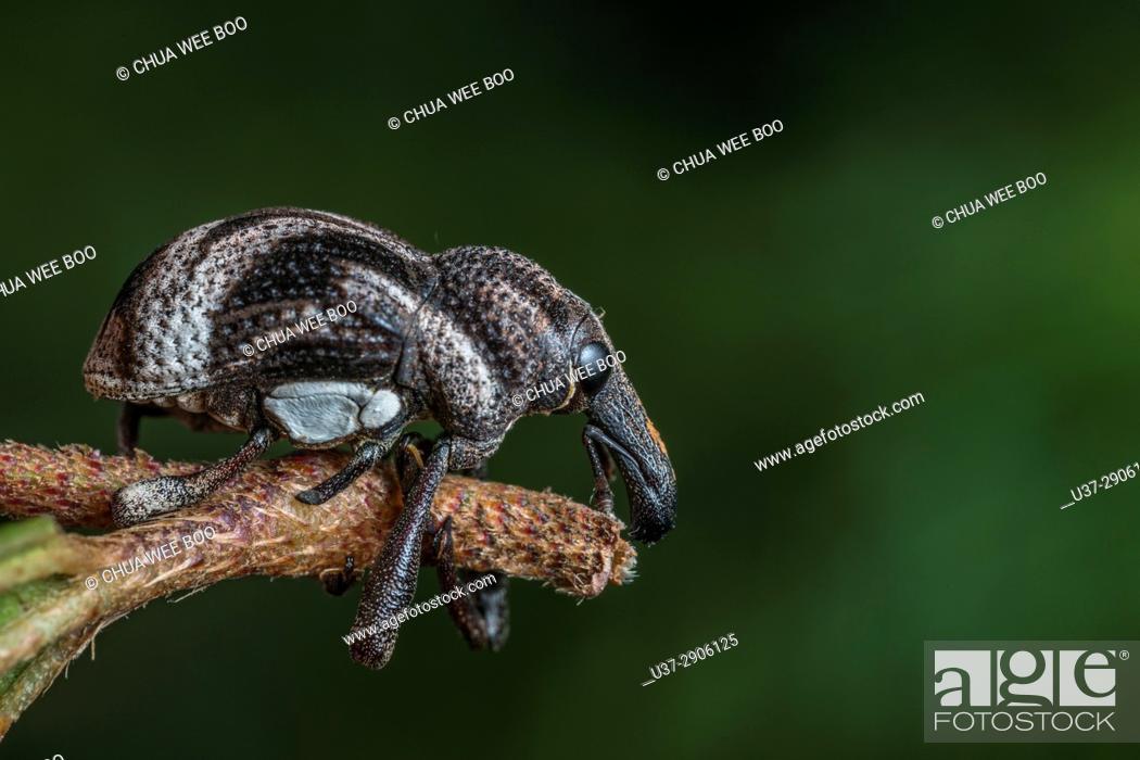 Stock Photo: Weevil. Image taken at Kampung Skudup, Sarawak, Malaysia.